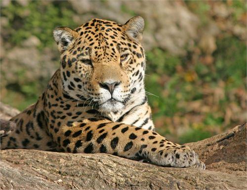 Leopard im Zoo