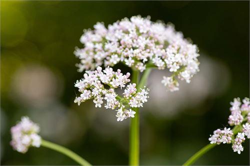 Baldrian: Uralte Heilpflanze für Stressgeplagte