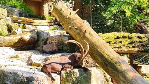 Steinbock Zoo Salzburg