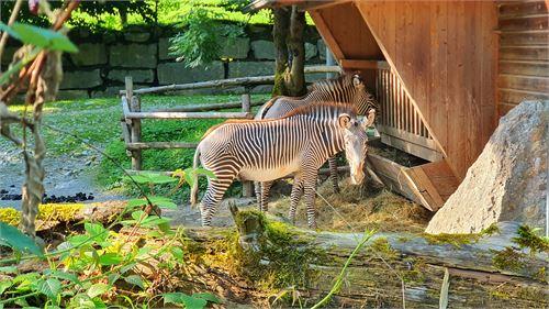 Zebra im Zoo Salzburg