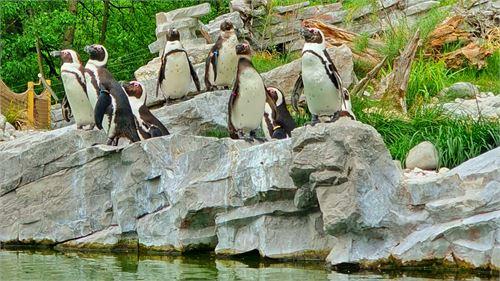 Brillenpinguine im Salzburger Zoo