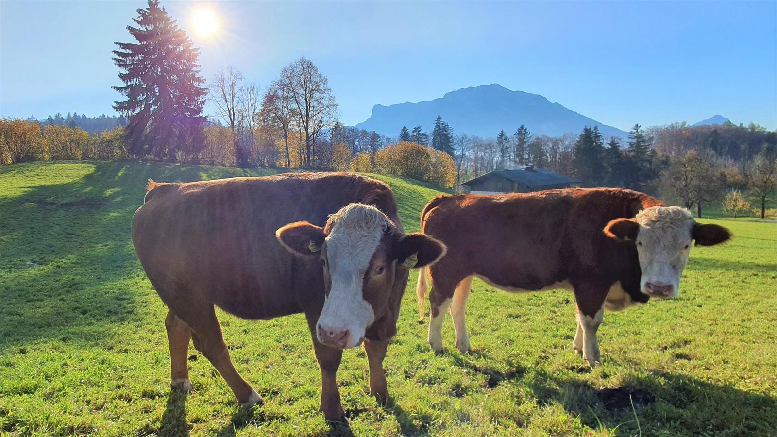 Vieh auf der Weider in Puch vor dem Untersberg   ©TVB Puch