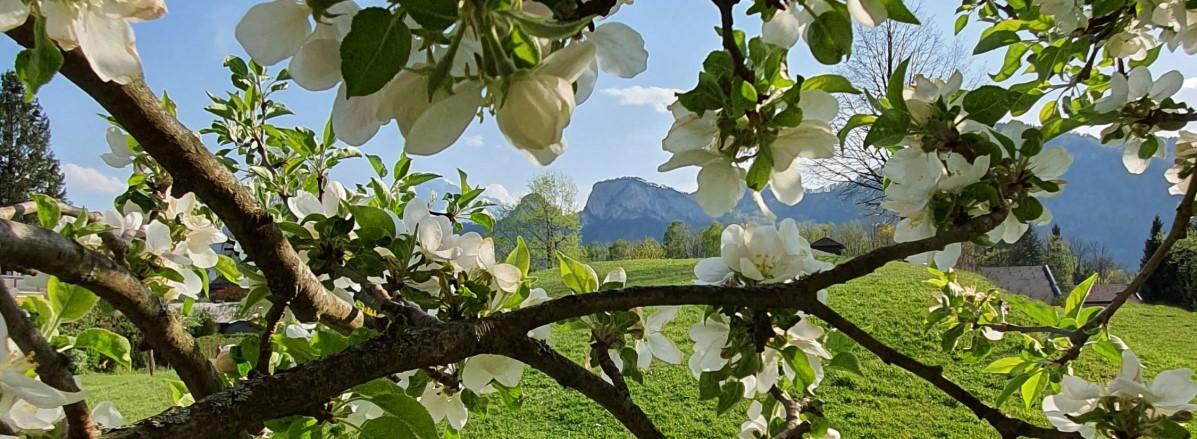 Frühlingshafter Blick von Puch auf die Barmsteine ©TVB Puch
